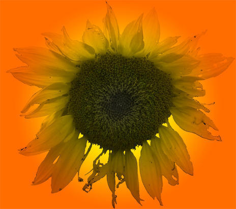 Large SunFlower Brush Photoshop brush