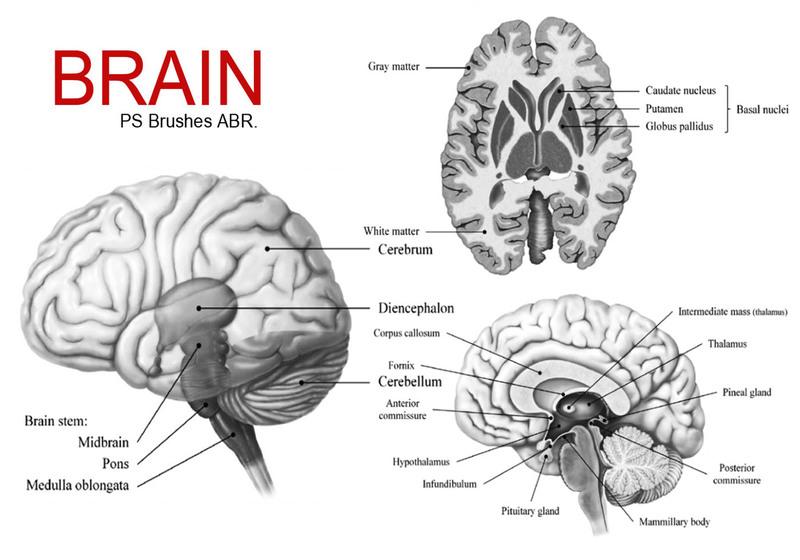 20 Brain PS Brushes ABR. Vol.4 Photoshop brush