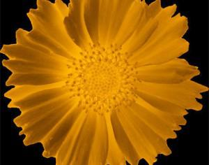Small Glowing Sunflower Brush Photoshop brush